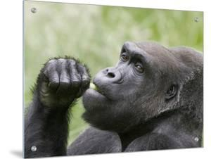 Close-Up of a Gorilla by D.M.