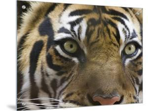 Close-Up of a Tiger by D.M.