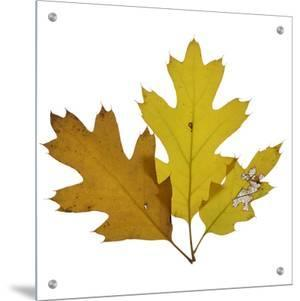 Fall Leaves on a White Background by D.M.