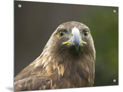 Headshot of an Eagle