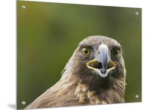 Headshot of an Eagle by D.M.