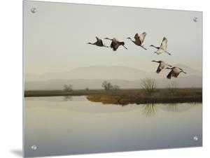 Sandhill Cranes Flying over a Lake, Sacramento, California by D.M.