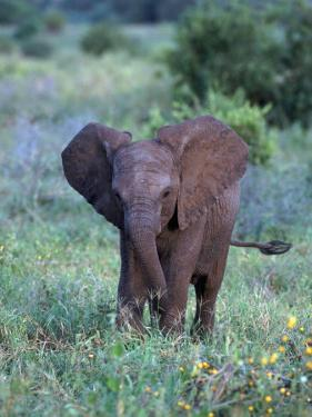 African Baby Elephant, Luxodonta Africana, Tanzania by D. Robert Franz