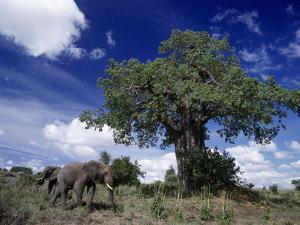 African Elephants and Baobab Tree by D. Robert Franz