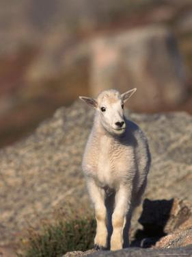 Baby Mountain Goat, Oreamos Americanus, CO by D. Robert Franz