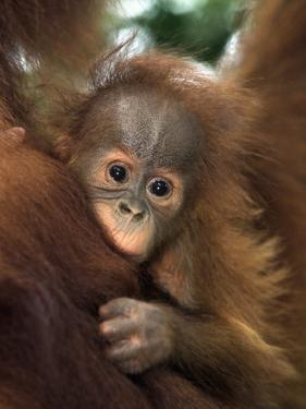 baby sumatran orangutan indonesia by d robert franz