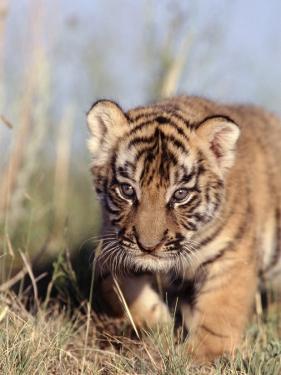 Bengal Tiger Cub, Panthera Tigris by D. Robert Franz