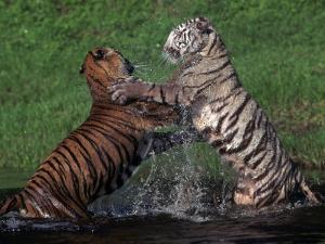 Bengal Tigers, Panthera Tigris, Endangered Species by D. Robert Franz