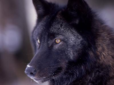 Close-up of a Wolf, Canis Lupus by D. Robert Franz