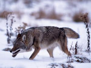 Coyote, Canis Latrans, MN by D. Robert Franz