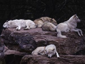 Gray Wolf, Canis Lupus by D^ Robert Franz