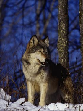 Gray Wolf, Canis Lupus by D. Robert Franz