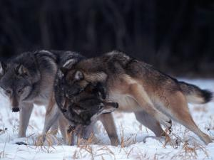 Gray Wolves in Dominance Struggle, Canis Lupus, MN by D. Robert Franz