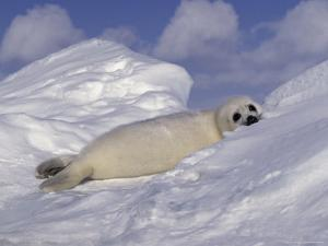Harp Seal Pup, Pagophilus Groenlandicus by D. Robert Franz