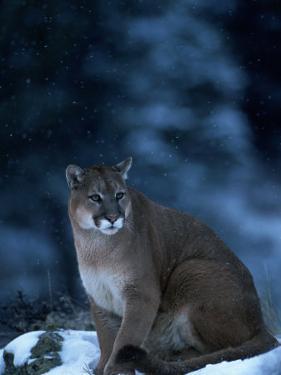 Mountain Lion in Snow, Felis Concolor, MT by D. Robert Franz