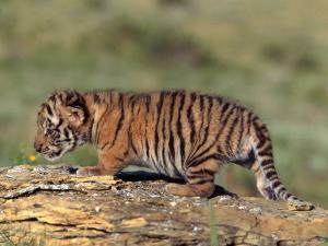 Siberian Tiger Cub, Panthera Tigris Altaica by D. Robert Franz