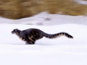 Snow Leopard by D. Robert Franz