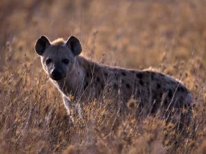 Spotted Hyena, Crocuta Crocuta, Tanzania by D. Robert Franz