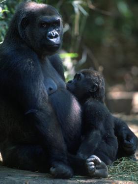Western Lowland Gorilla by D. Robert Franz