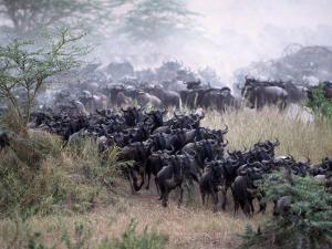Wildebeests Migrating, Tanzania by D. Robert Franz