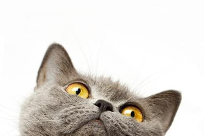British Shorthair Cat by dadoodas