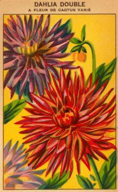 Dahlia Double Seed Packet