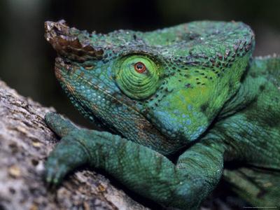 Chameleons in the Analamazaotra National Park, Madagascar