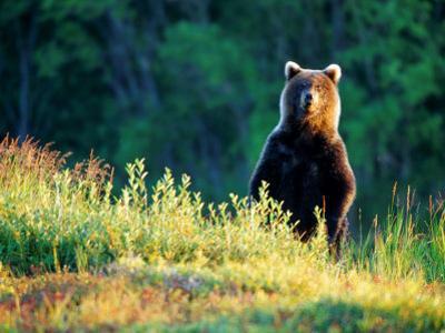 Grizzly of Kronotska National Park, Kamchatka, Russia