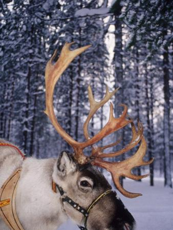 In Santa Claus's Country the Reindeers Abound, Lapland, Finland