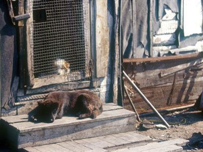 Resting Dog in Yanrakinnot, Providenia District