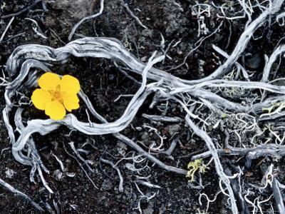 Yellow Poppy, Kamchatka, Russia