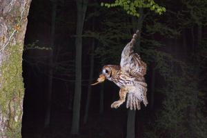 Tawny Owl (Strix Aluco) Flying with Dormouse Prey (Muscardinus Avellanairus) to Nest, Sussex by Dale Sutton