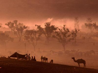 Camel and Camp at Camel Fair, Pushkar, Rajasthan, India