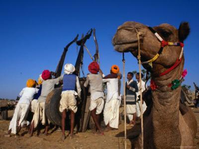 Camel and Men Working on Camel Cart, Pushkar, Rajasthan, India