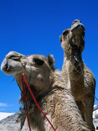 Camels for Hire at Stockton Sand Dunes, Newcastle, New South Wales, Australia