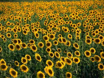 Fields of Sunflowers Around Oristano, Oristano, Sardinia, Italy