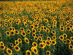 Fields of Sunflowers Around Oristano, Oristano, Sardinia, Italy by Dallas Stribley