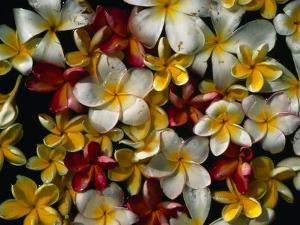 Frangipani Offerings at a Buddhist Temple in Tangalla, Tangalla, Southern, Sri Lanka by Dallas Stribley