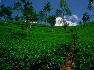 Green Tea Plantation, Nuwara Eliya, Sri Lanka by Dallas Stribley