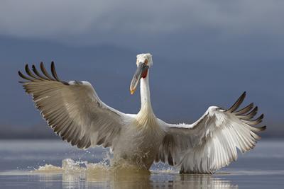 https://imgc.allpostersimages.com/img/posters/dalmatian-pelican-pelecanus-crispus-pelican-landing-while-fishing-lake-kerkini-greece-february_u-L-Q13A70C0.jpg?p=0