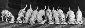 Dalmatian Puppy Peeps Over a Large Wicker Baske, February 1960