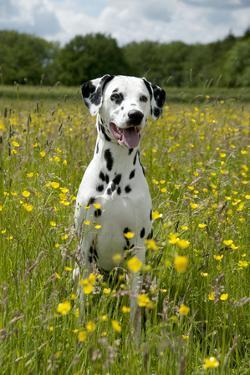 Dalmatian Sitting in Buttercup Field