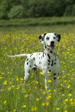 Dalmatian Standing in Buttercup Field
