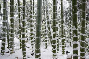Snow-laden bamboo, Kodai-ji temple, Kyoto, Japan, Asia by Damien Douxchamps
