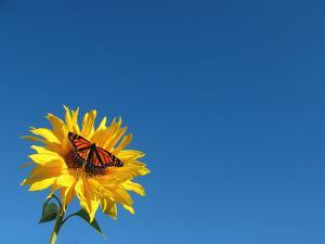 Butterfly on Sunflower by Damon Bay