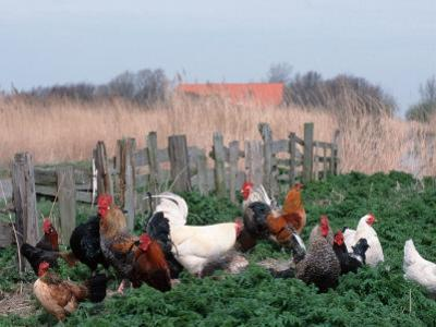 Chickens, Domestic Fowl, Rooster and Hens, Netherlands by Damschen