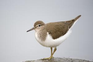 Common Sandpiper (Actitis Hypoleucos) Elbe Biosphere Reserve, Lower Saxony, Germany, September by Damschen