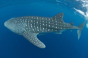 Whale shark, Madagascar, Indian Ocean, Africa by Dan Burton