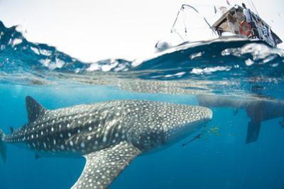 Whale shark, Sakatia Island, Madagascar, Indian Ocean, Africa by Dan Burton