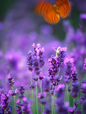 Lavender and Butterflies, Provence-Alpes-Cote d'Azur, France by Dan Herrick